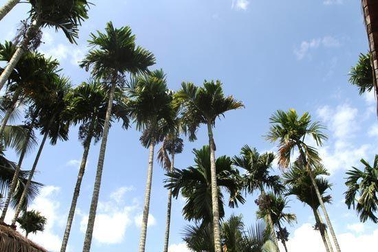 槟榔树 摄影:丁燕