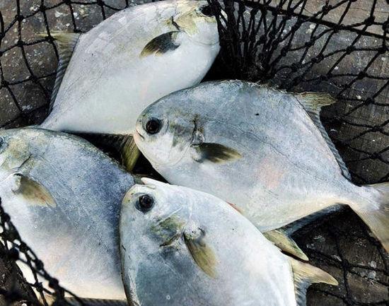 勤劳的家人每天清晨都会打捞上来最新鲜的鱼