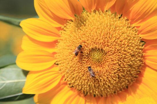 想着阳光的向日葵 摄影混混(摄)
