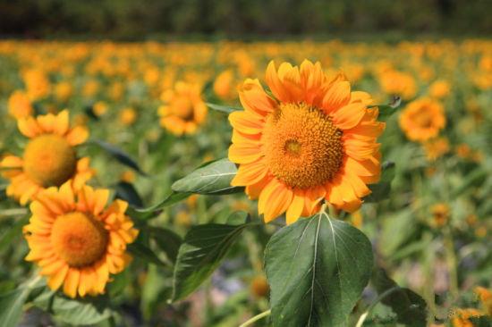 每一朵向日葵都有它的姿态 摄影混混(摄)