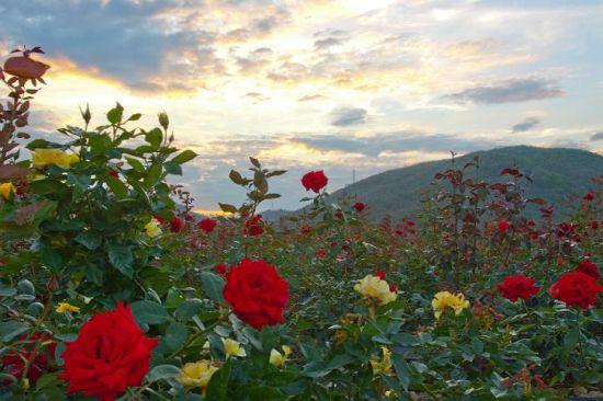 夕阳下的玫瑰