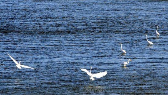 12月19日,成群的白鹭聚集在三亚市临春河上。