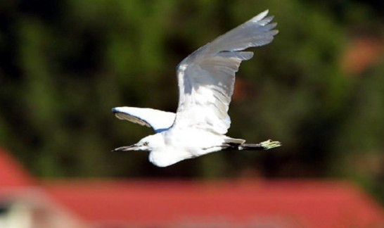 这是12月19日在三亚临春河畔拍摄的白鹭。 新华社记者 侯建森 摄