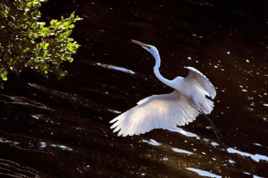 这是12月19日在三亚临春河畔拍摄的白鹭。 侯建森 摄