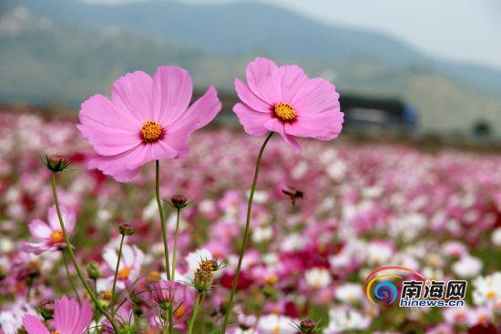 波斯菊,藏族人们称之为格桑花。一只蜜蜂从波斯菊旁飞过。