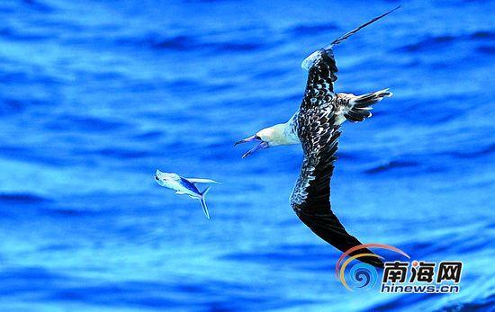 西沙海域,海鸟飞速猎捕飞鱼。