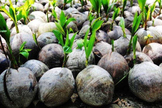 在东郊的苗辅园看到的椰子树苗