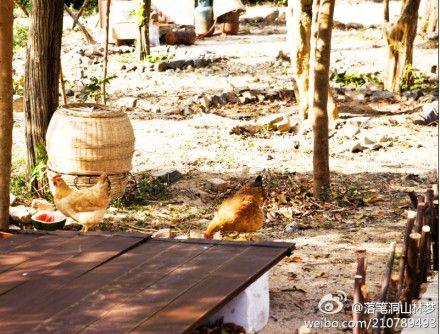 正在享用海南好空气的鸡