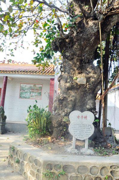 禄尾村奇特的母子树