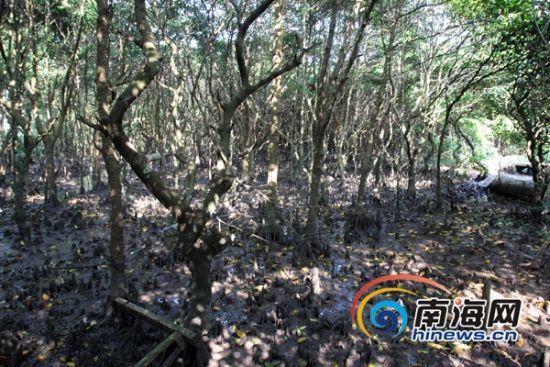 宁头村的红树林片区 (南海网记者陈望摄)