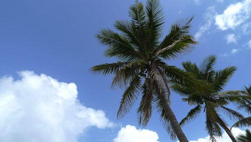 高高低低的椰子树,它是蓝天和白云的好朋友。