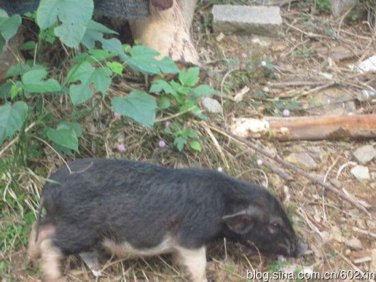 p7山上散养的五脚猪