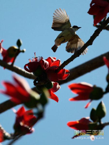 2月27日,在海南省三亚市,鸟儿在盛开的木棉花枝间飞舞。