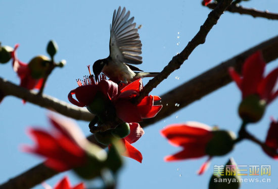 2月27日,一只小鸟在海南省三亚市一处盛开的木棉花上觅食。新华社发(陈文武 摄)
