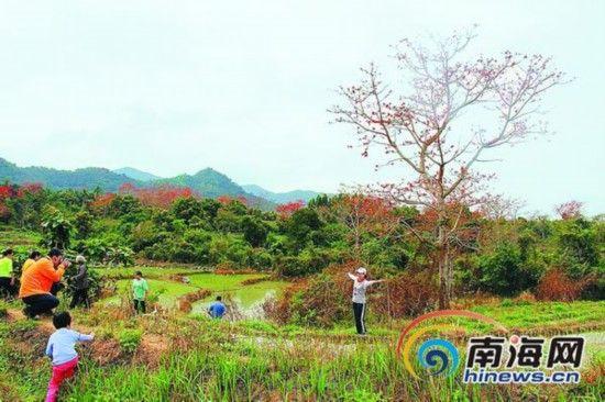 游客参观昌江木棉。本报记者杨勇摄