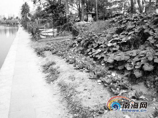 红城湖北侧未被改造成台阶的湖堤,被周边居民当做菜地(摄于2013年3月13日)。南国都市报见习记者党朝峰摄