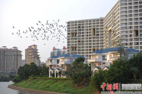 成群的白鹭在万泉河畔的楼盘间飞翔。