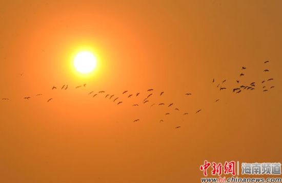 成群的白鹭在夕阳中飞翔。