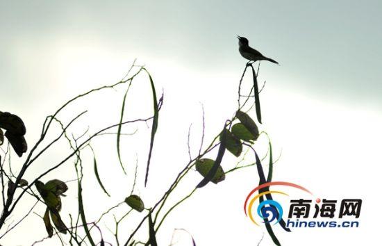 3月21日,白沙门公园,处处散发着春天的气息,鸟儿在枝头。(南海网记者秦彦摄)