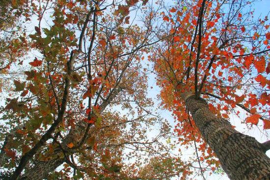 五指山看红叶