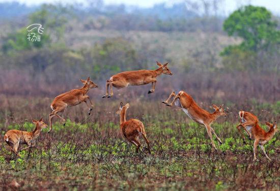 成群的坡鹿