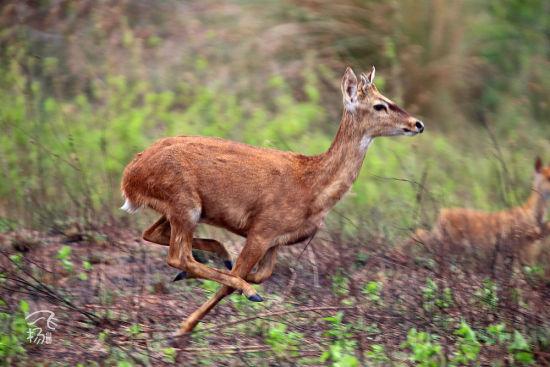 等待起飞的坡鹿