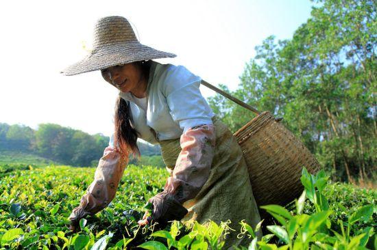 成片的五指山绿茶