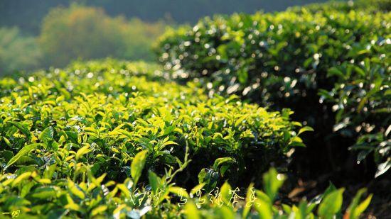 青葱的绿茶