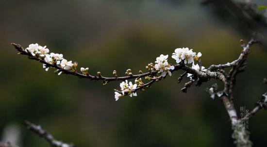 绿叶称桃花