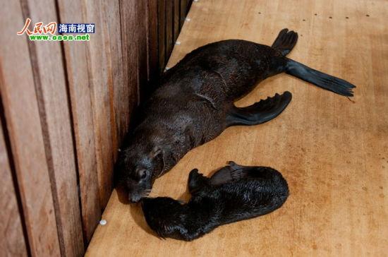 分界洲岛海狮小宝宝顺利诞生 体长约70公分