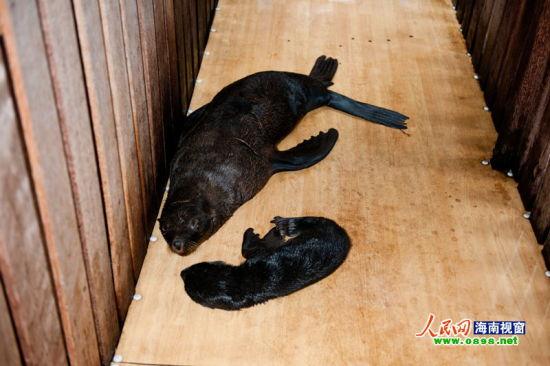 分界洲岛海狮成功生育小宝宝