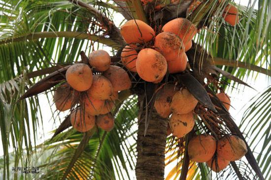 椰林里的红椰子,其实应该叫黄椰子