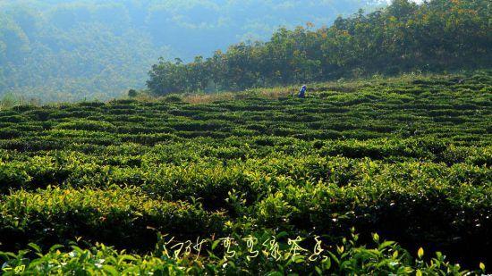 五指山的茶树