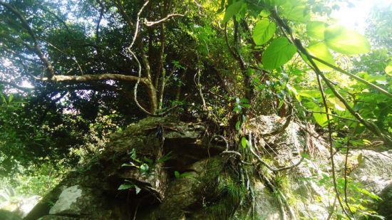 盘踞在山石上的树