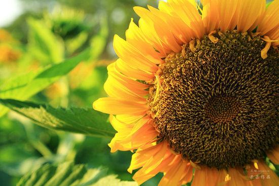 近拍向日葵漂亮极了