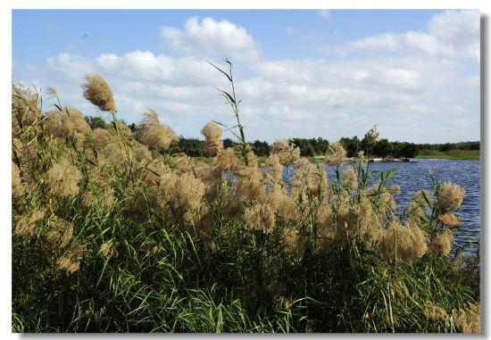 湿地边的芦苇迎风飘荡