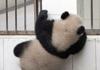 熊猫搭档大逃亡