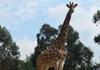 长颈鹿乘专机