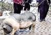 老汉养120斤肥猪