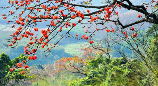 在白沙,木棉花又名英雄花,每年2月中旬到4月中旬是花开最旺盛的时候,花期约两个月。木棉树树枝粗壮曲折有力,造型独特,有些犹如被修剪过的盆景,煞是好看,就连凋谢的花也分外的豪气,树下常见落英缤纷,不退色、不萎靡。 木棉花又名英雄花