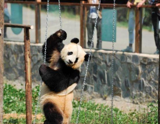 云南野生动物园为情绪低落熊猫装电视(2)