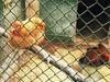 动物园里养家鸡