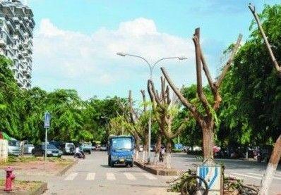 金地路行道树被剃
