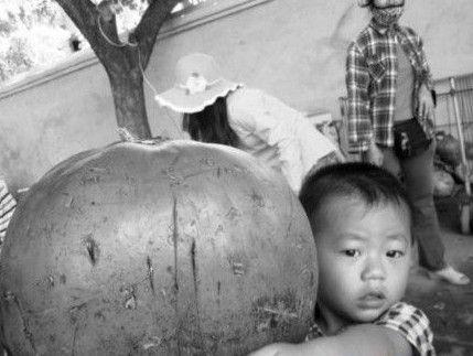21斤重巨型椰子