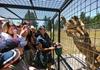 狮子围观笼中游客