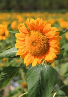 三亚玫瑰谷的成片向日葵